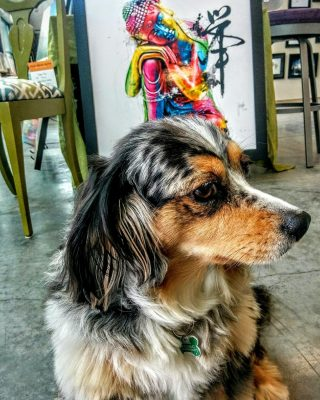 Our Best Friend... in honour of International Dog Day we are showcasing LUNA. She's here everyday cheering us on, keeping our spirits up and only requires payment in belly rubs 🥰 All Dogs are the Best! #internationaldogday #nationaldogday #FatPaint #shophelper #bestfriend #miniaussie #kingcharlescavalier #ourpup